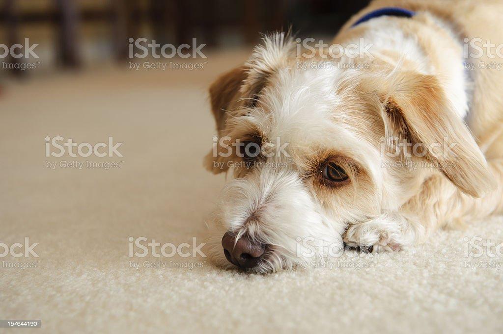 Really Sad Dog stock photo