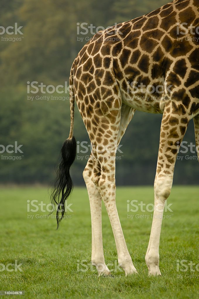 Rear end of a giraffe royalty-free stock photo