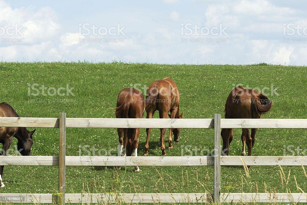 Rear Ends of Three Horses stock photo