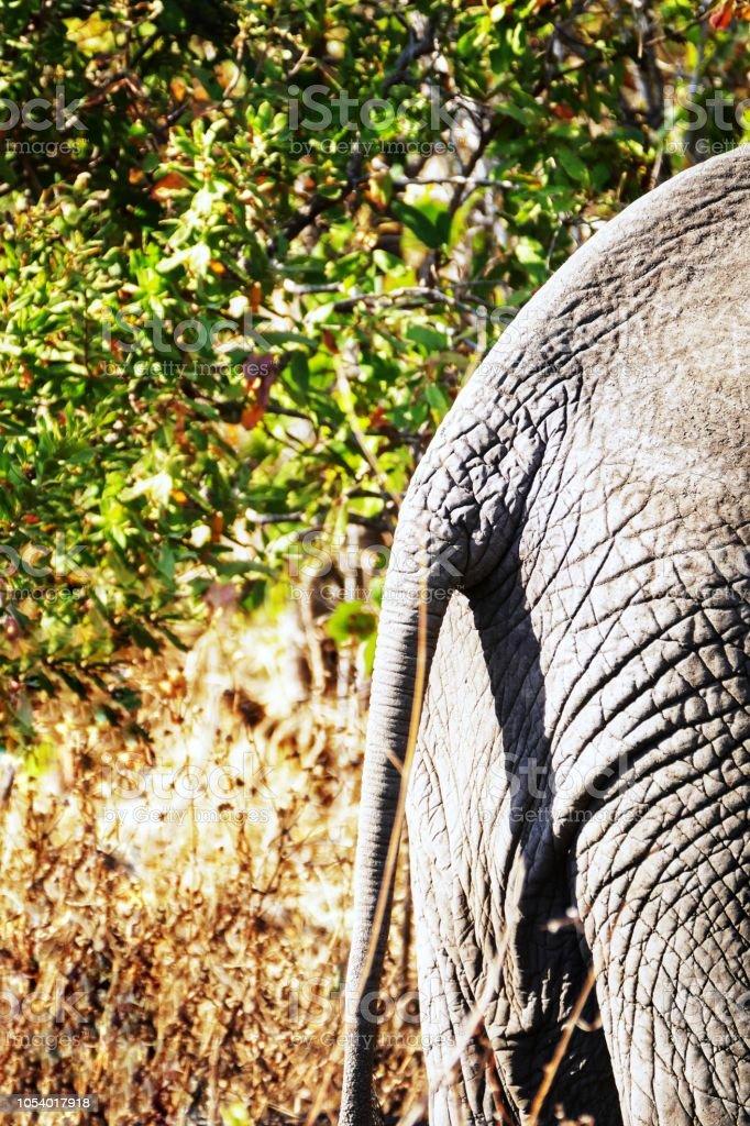 Arrière d'un éléphant - Photo