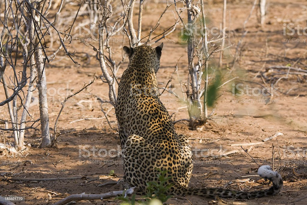Rear of sitting leopard stock photo