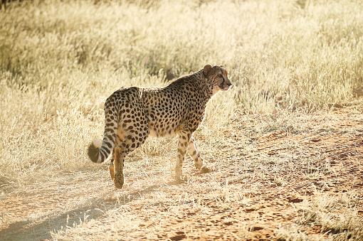후면 쪽 볼 치타 산책 황금 잔디 0명에 대한 스톡 사진 및 기타 이미지