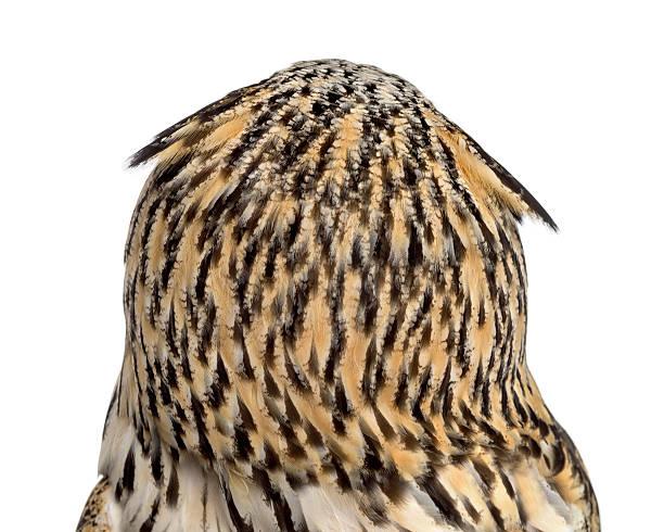 Rear view closeup of a siberian eagle owl picture id508899438?b=1&k=6&m=508899438&s=612x612&w=0&h=wifgbd8l9wupienvahpdzkochfzj5ihpwybwsbzgjvs=