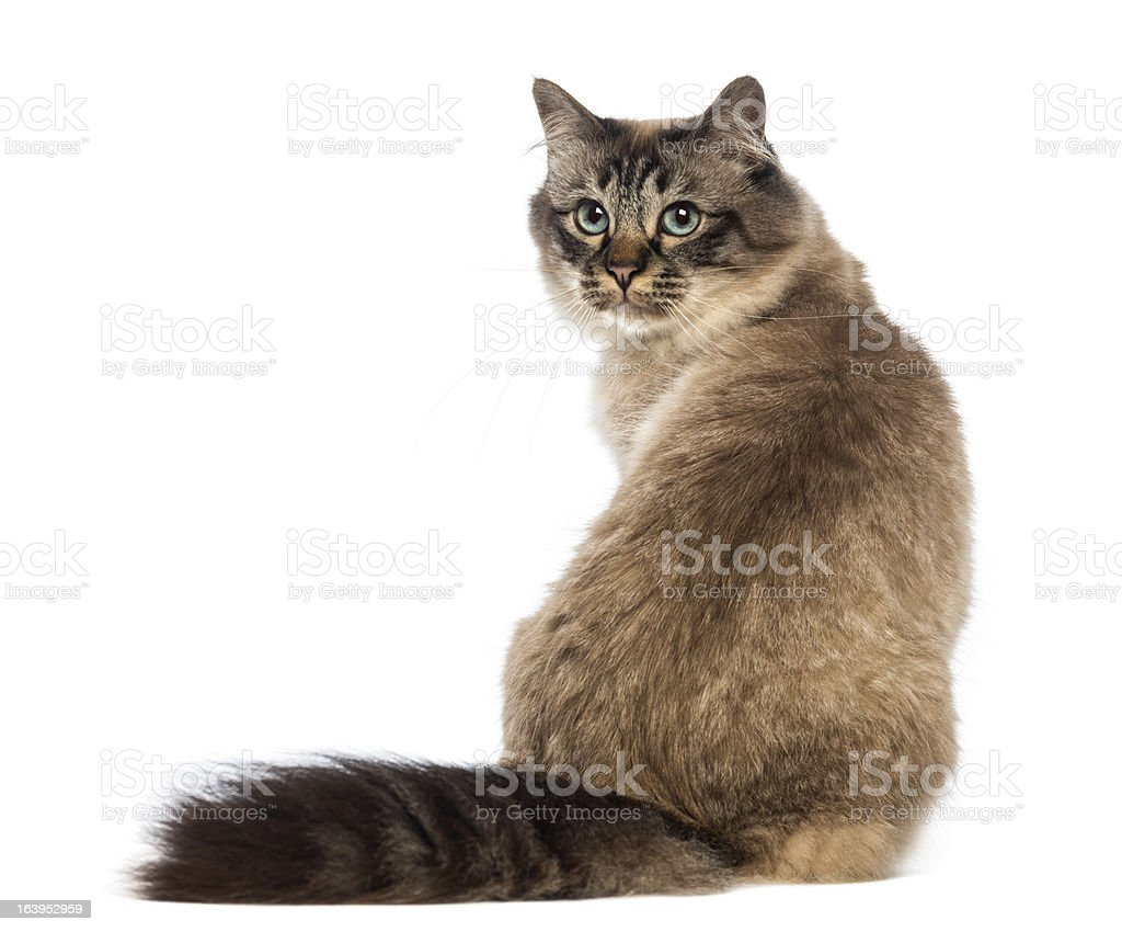 Rear view of a Birman sitting and looking back on white stock photo