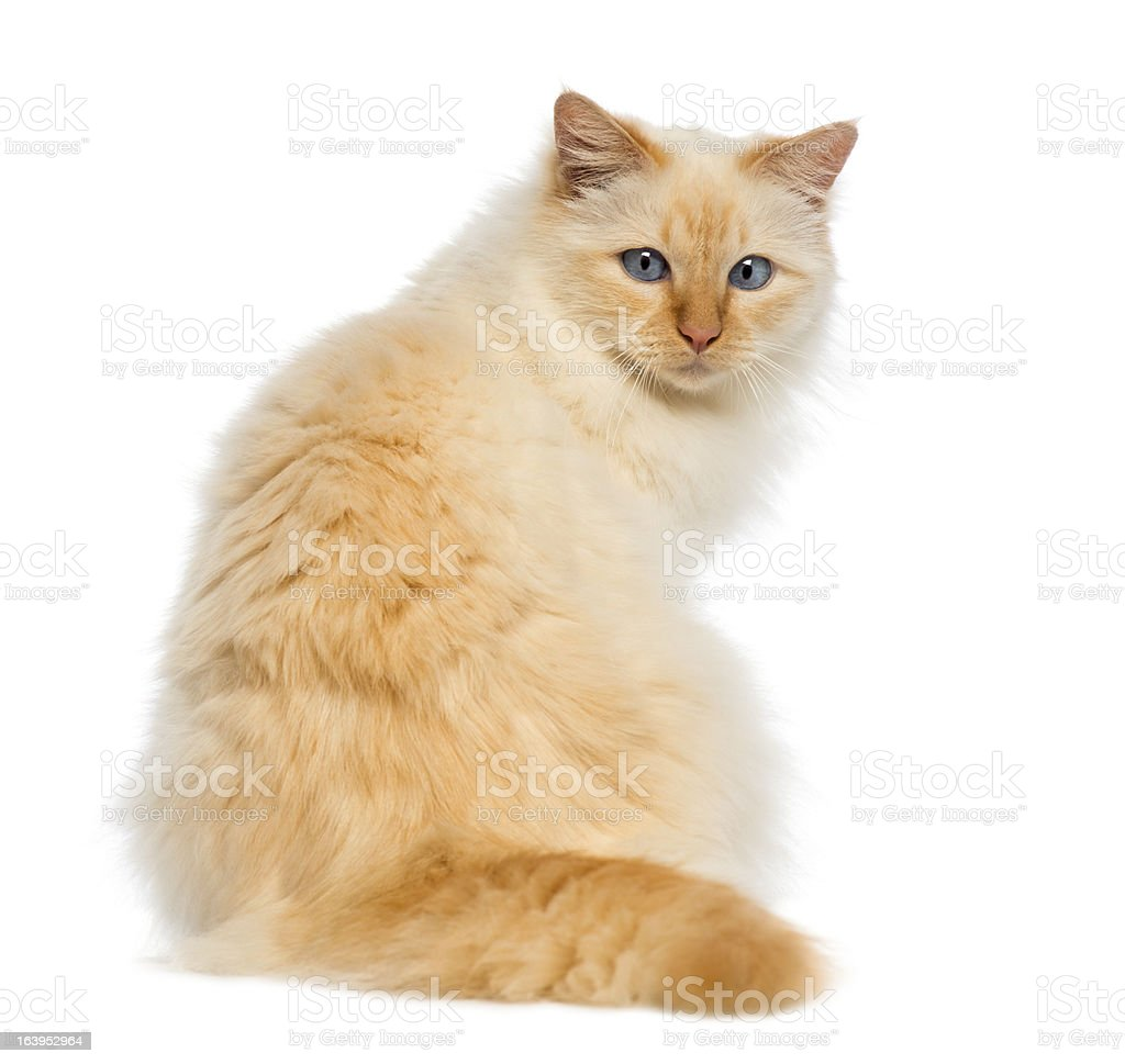 Rear view of a Birman sitting and looking back stock photo