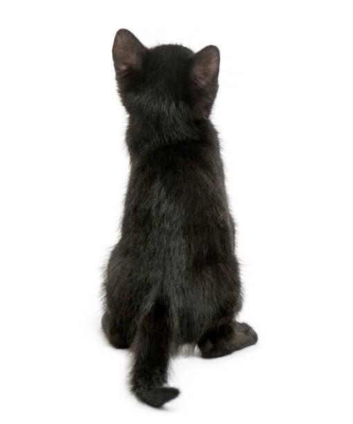 Rear view of a black kitten sitting 2 months old isolated on white picture id889609820?b=1&k=6&m=889609820&s=612x612&w=0&h=fjbe6dpttqrpxh0injbr2lgbqbbzj0r txunisogrek=