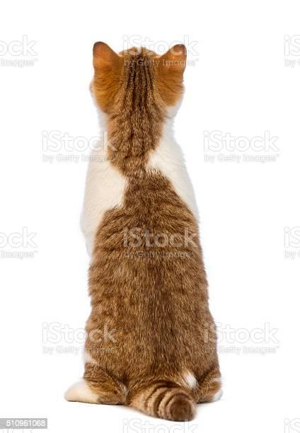 Rear view of a british shorthair kitten standing picture id510961068?b=1&k=6&m=510961068&s=612x612&h=oboy32kpijhnl9bmczwgqx5ajrhbiyhcmwiepdtyhwg=