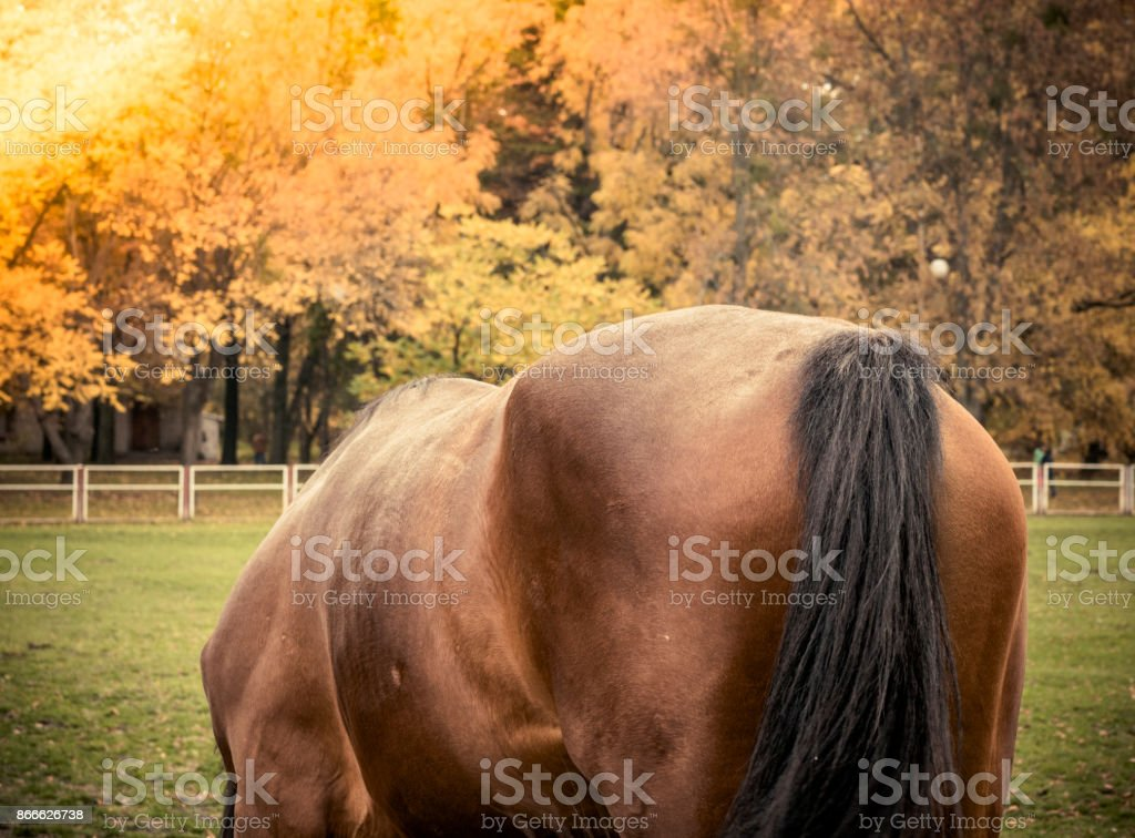 Rear view of a brown horse stock photo