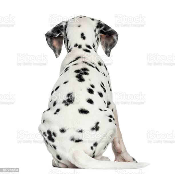 Rear view of a dalmatian puppy sitting isolated on white picture id187783094?b=1&k=6&m=187783094&s=612x612&h=k2mfreo5zlppmgede706fam2mgsn1oybno0zvo luew=
