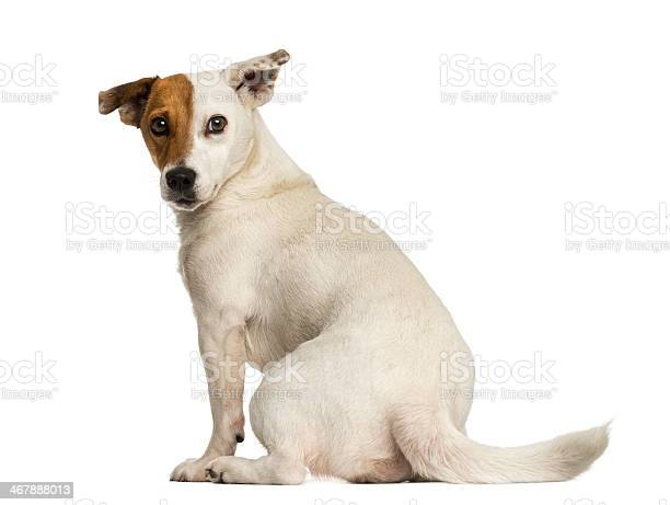 Rear view of a jack russel terrier looking back isolated picture id467888013?b=1&k=6&m=467888013&s=612x612&h=uwz4x1gbgocbld2eflr4kh1zzhwzinn3lhqndphvd0e=
