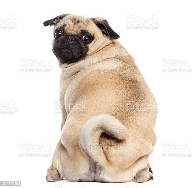 Rear view of a pug isolated on white picture id514320108?b=1&k=6&m=514320108&s=612x612&h=a0uetxlznrap8edfl70xdhhjuxllzrsekqfbnyan9xq=