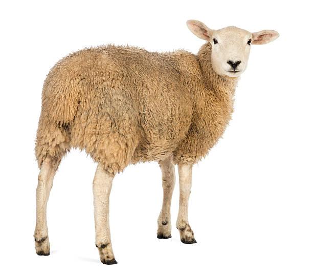 Vista posteriore di una pecora guardando indietro su sfondo bianco - foto stock