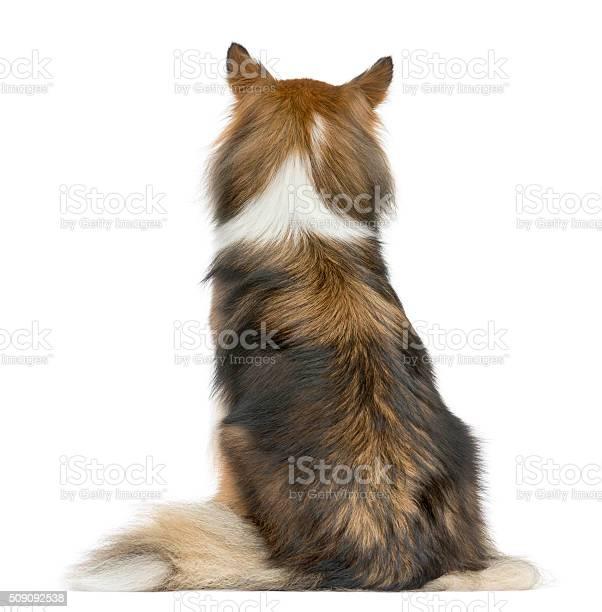 Rear view of a shetland sheepdog sitting picture id509092538?b=1&k=6&m=509092538&s=612x612&h=czwpy2 hrv npzu2owcrh dj0ilsf243vm8hmcyb2zo=