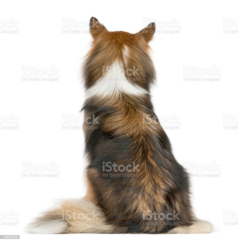 Rear view of a Shetland Sheepdog sitting stock photo