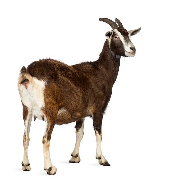 Arrière vue d'un de Toggenburg chèvre vous loin - Photo