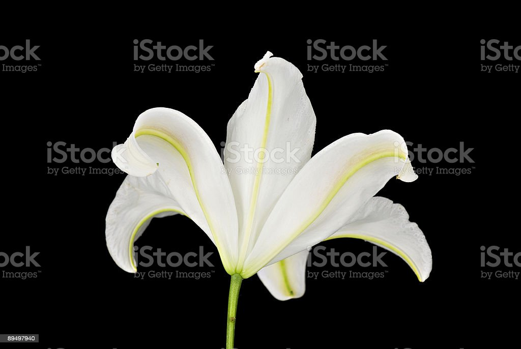 Rear View of a White Lily on Black Background royaltyfri bildbanksbilder