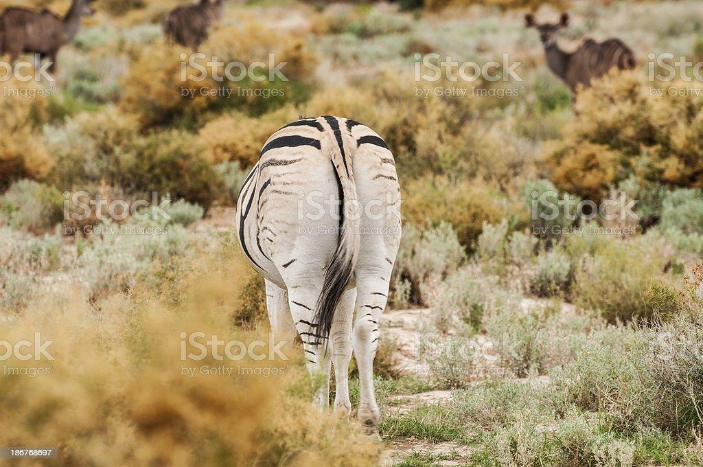 Rear View of a Wild Zebra royalty-free stock photo