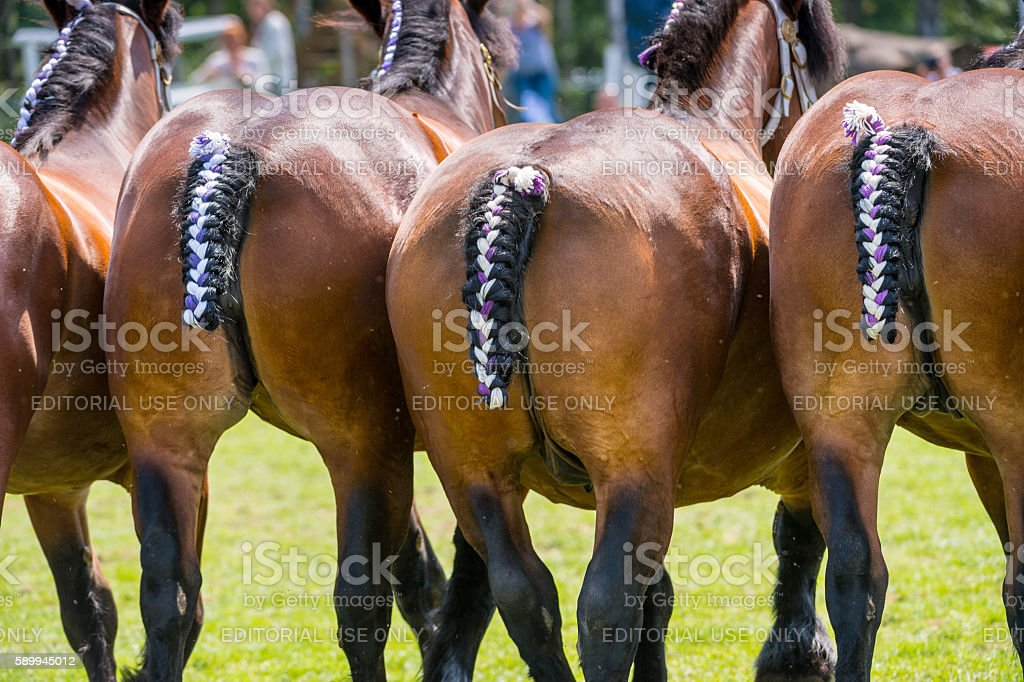 Rear view of adorned powerful Ardennes horses - Photo