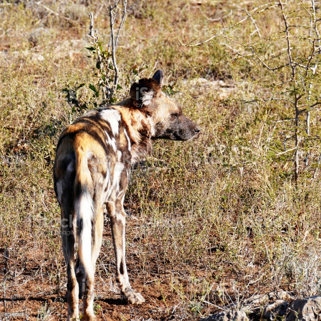 Rear view of an African wild dog ( Lycaon pictus) standing  in the Madikwe Game Reserve in South Africa stock photo