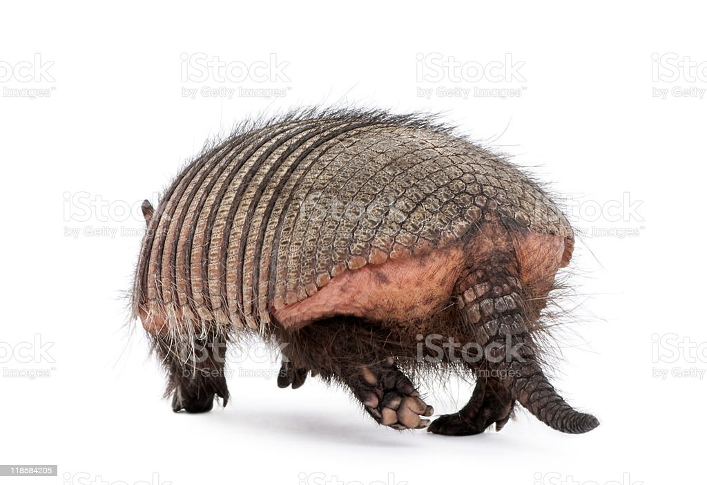 Rear view of Armadillo walking against white background stock photo