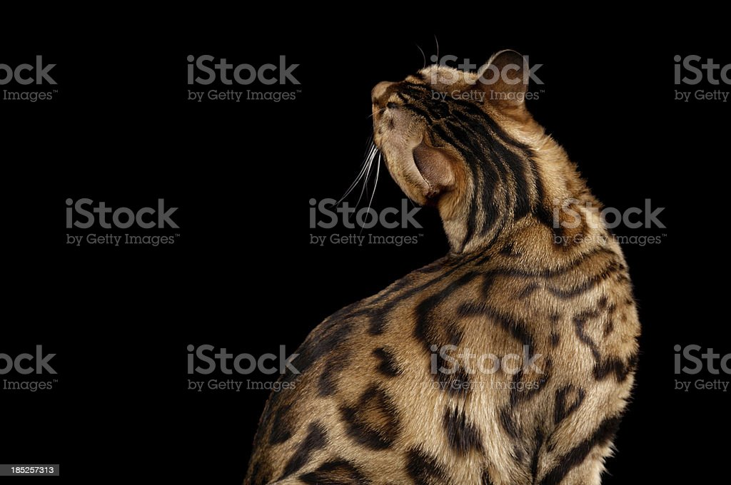 Rear view of Bengal cat craning neck. stock photo