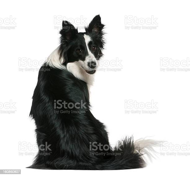 Rear view of border collie sitting and looking back picture id160860807?b=1&k=6&m=160860807&s=612x612&h=bdy1tp8uyjcrapezideik3uhpj9b359bqrmdrscixzm=