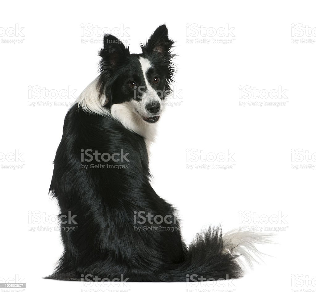 Rear view of Border Collie, sitting and looking back. stock photo