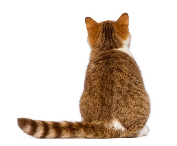 Rear view of british shorthair kitten 35 months old sitting picture id450373695?b=1&k=6&m=450373695&s=612x612&w=0&h=py2aomdmuoq5a2czwdob3uwwuid9tagbamdri8fangq=