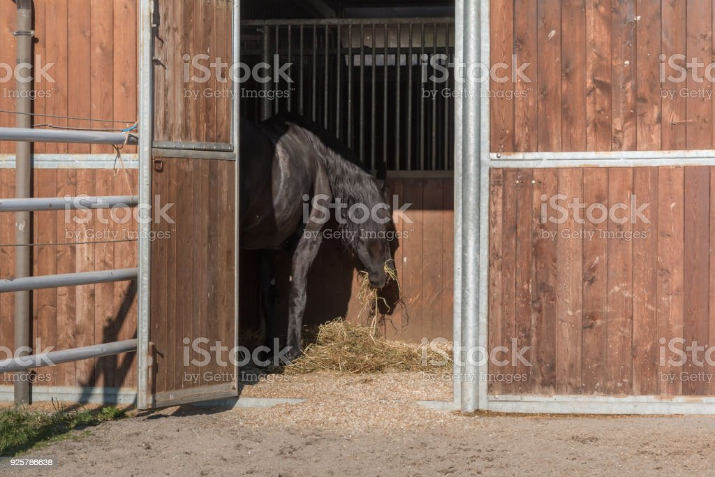 Rear View of Brown Horse inside Stall Eating Yellow Hay stock photo