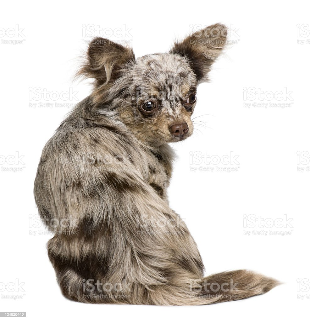 Rear view of Chihuahua puppy, sitting and looking back. stock photo
