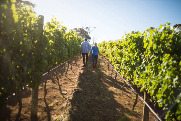 Rear view of couple walking amidst plants at vineyard Rear view of couple walking amidst plants at vineyard during sunny day amidst stock pictures, royalty-free photos & images
