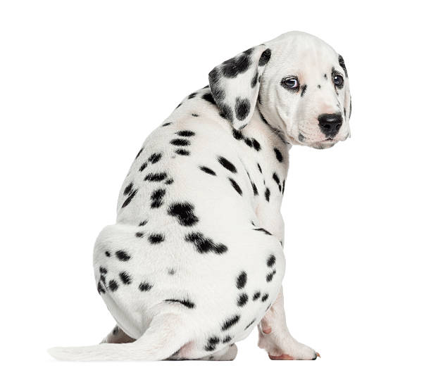 Rear view of dalmatian puppy sitting looking at the camera picture id187783100?b=1&k=6&m=187783100&s=612x612&w=0&h=q9ome686sl1itwadm9yy8t5tyvkqr0ik9zcqgoahxnw=