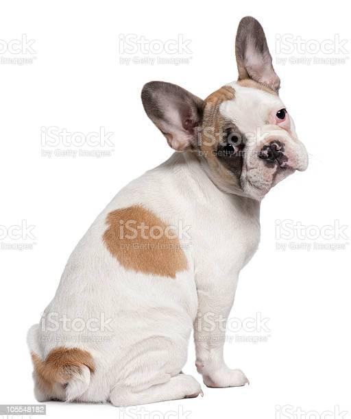 Rear view of french bulldog puppy sitting and looking back picture id105548182?b=1&k=6&m=105548182&s=612x612&h=lf7k4pga ppfohmi91 jdtms3ap7fbjxxjefnydxckk=