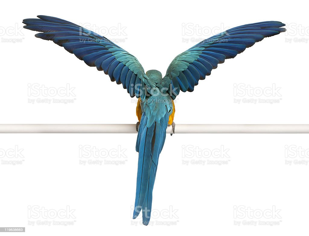 Rear view of Macaw, perched and flapping wings, white background. stock photo