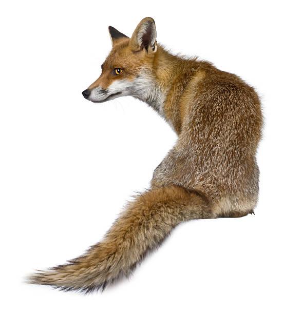 vista posterior de red fox, sentado y mirando lejos. - zorro fotografías e imágenes de stock