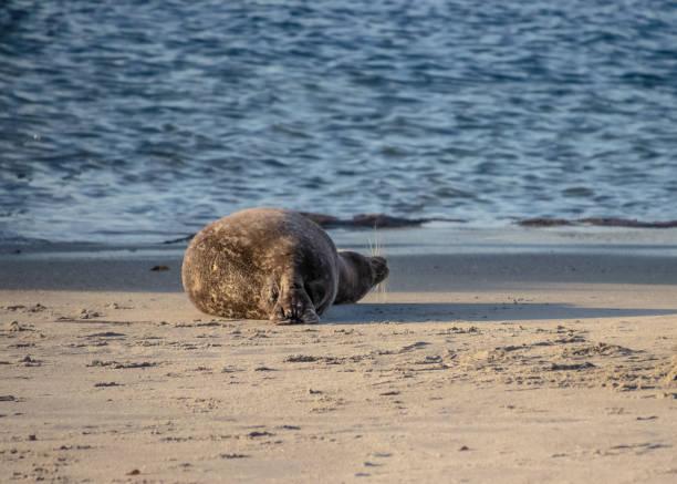 rückansicht des löwen mit blick auf den sandstrand von la jolla in san diego, ca - haar zitate stock-fotos und bilder