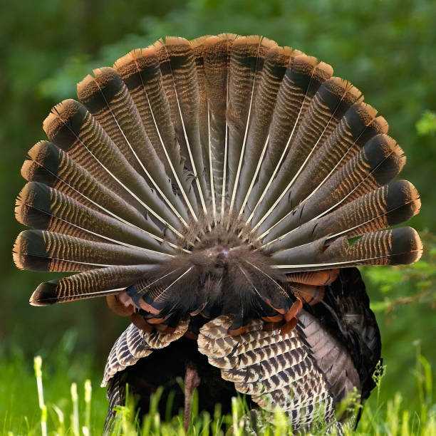 Rear View of Single Wild Turkey with Full Tail Feathers stock photo
