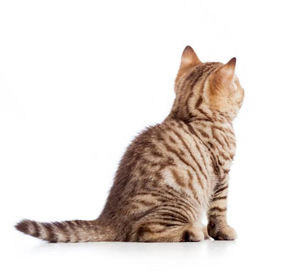 Rear view of tabbycat kitten isolated on white picture id153679523?b=1&k=6&m=153679523&s=612x612&w=0&h=ttpqkaplmgiidkkdbjazuzc ijfimwaysf jeari94c=