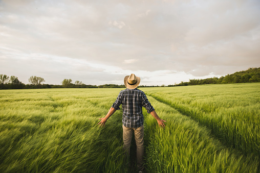 Rear view of a young man farmer with farmers hat standing in the middle of his wheat field and inspect the crops at sunset