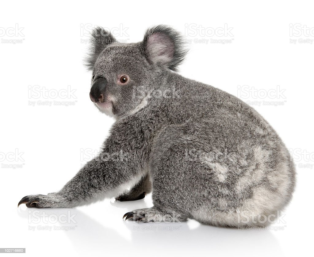 Rear view of Young koala, sitting and looking back royalty-free stock photo