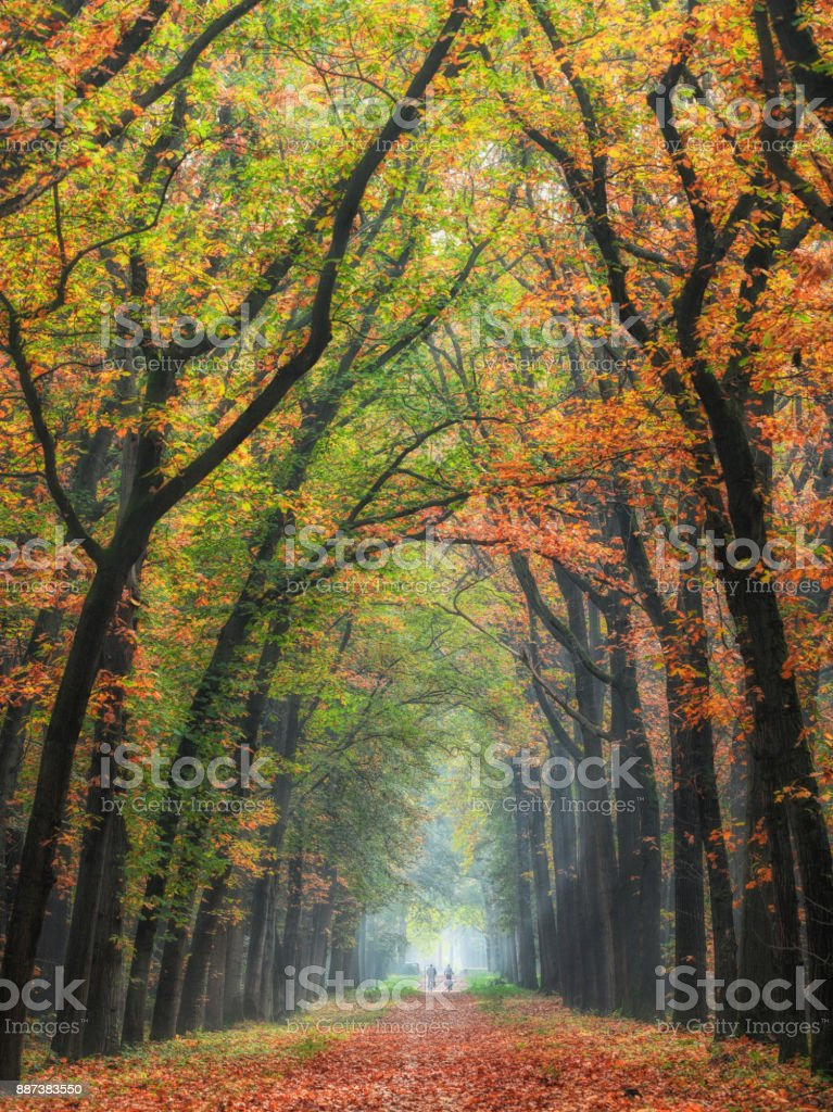 Rear view on Senior couple cycling on treelined path through majestic autumn leaf colors of beech trees stock photo