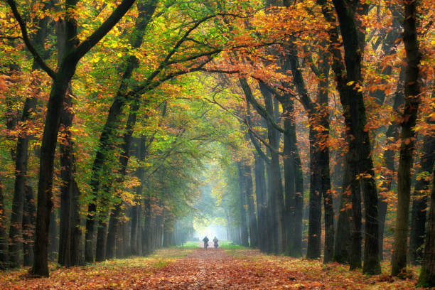 rear view on senior couple cycling on treelined path through majestic autumn leaf colors of beech trees - distant stock photos and pictures