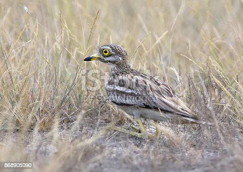 Rear view on stone curlew sitting on the ground with a grass