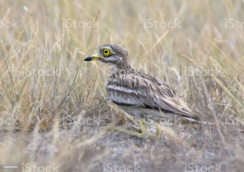 Rear view on stone curlew sitting on the ground with a grass stock photo