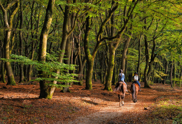 Rear view on Two women horseback riding through autumn colored beech tree forest stock photo