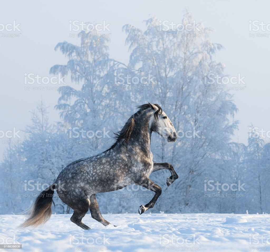 Rearing Andalusian horse on snowfield stock photo