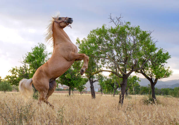 rearing powerful andalusian stallion in front of olive trees stock photo