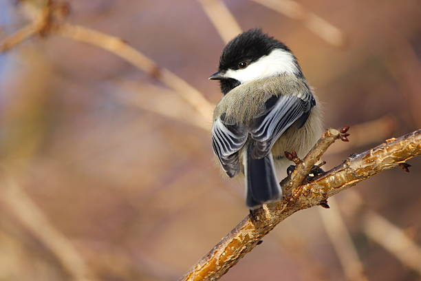 Rear-view of a chickadee with its head turned Black-capped chickadee (Poecile atricapillus) rear view with turned head chickadee stock pictures, royalty-free photos & images