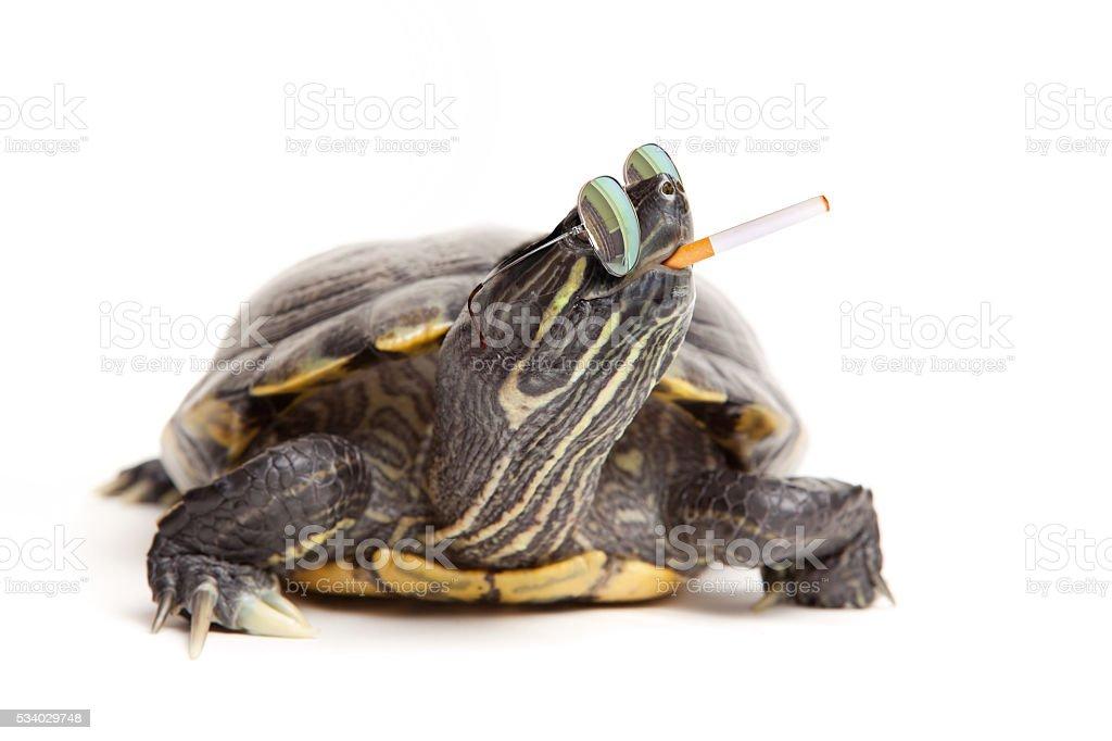 Rebel Turtle Wearing Sunglasses And Smoking stock photo