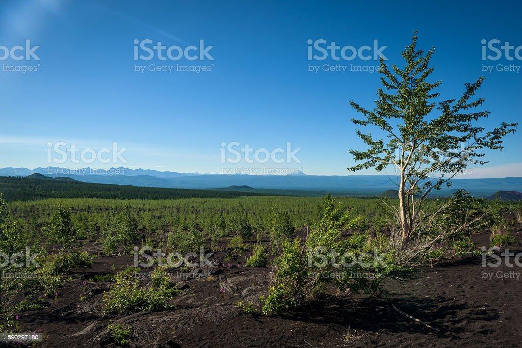 Rebirth of a forest on Tolbachik's volcanic landscape Стоковые фото Стоковая фотография